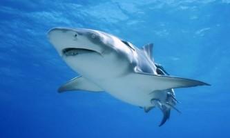 Австралійця оштрафували на 18 тисяч доларів за жорстоке вбивство білої акули