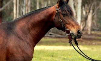 Австралійська пастуша кінь і австралійський поні: як вони потрапили в австралії?