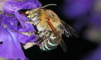 Австралійська бджола перевершила шанувальників хеві-металу в здатності трясти головою