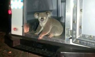 Австралійська поліція заарештувала коалу за порушення пдд