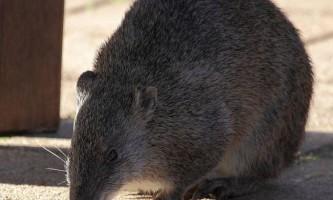 Австралійські ліси збережуть землерийні ссавці
