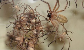 Австралійські павуки delena cancerides живуть величезними сім`ями