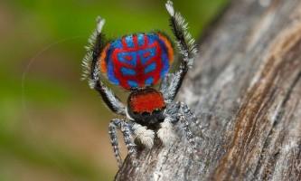 Австралійські павині павуки, які поводяться, як собаки і кішки