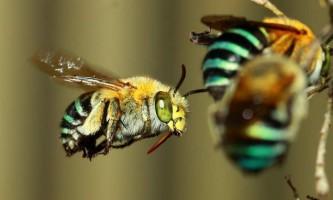 Австралійські бджоли вибивають пилок за рекордний час