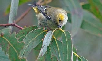 """Австралійські птиці ведуть власне """"сільське господарство"""" для прохарчування пташенят"""
