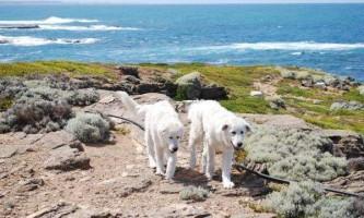 Австралійські собаки врятували колонію пінгвінів