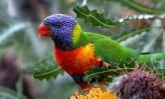 """Австралійські ветеринари зайнялися порятунком папуг від """"похмілля"""""""