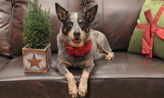 Австралійський хилер, або австралійська пастуша собака: опис породи