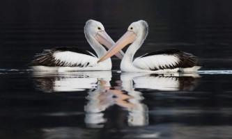 Австралійський пелікан - птах в окулярах
