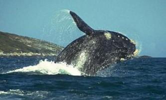 Австралійський підліток прокотився на кита