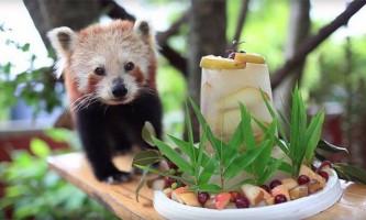 Австралійської червоною панді на 16-річчя подарували торт