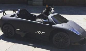 Автомобіль lamborghini для улюбленого котика і золотий годинник для песика