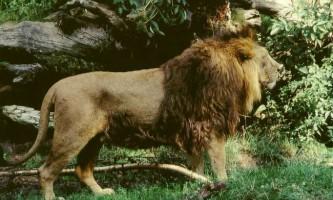Азіатський лев - гордість індії