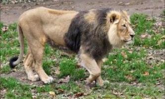 Азіатський лев