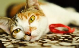 Азінокс: інструкція із застосування для кішок