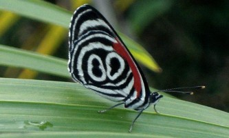 Метелик 89`98 (лат. Diaethria)