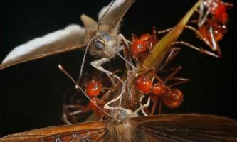 Метелик шашечниці зрадницьки оббирає мурах