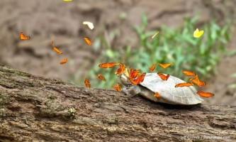 Метелики басейну амазонки втамовують спрагу сльозами місцевих черепах
