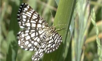 Метелики п`ядака