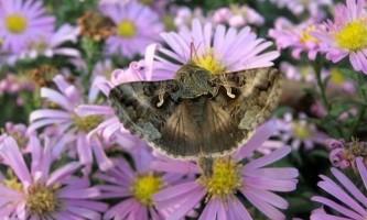 Метелики - шкідники сімейства совок: бавовняна і совка-гамма