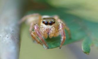 Багіра кіплінга - дивовижний травоїдний павук