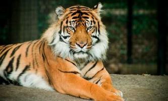 Балийский тигр - знищений підвид