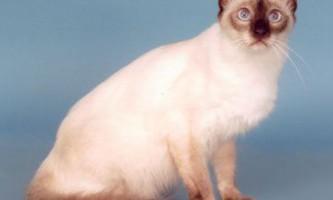 Балинезийская кішка