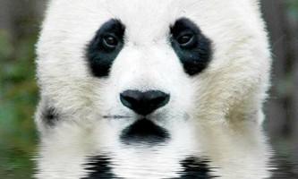 Бамбуковий панда