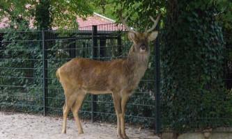 Барасинга - рідкісний олень неймовірної краси