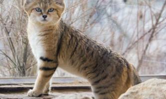 Барханна, піщана або пустельна кішка (felis margarita)