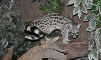 Барнаульський зоопарк отримав у подарунок незвичайного звірка - генетів