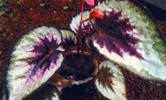 Бегонія королівська догляд в домашніх умовах, фото квітки