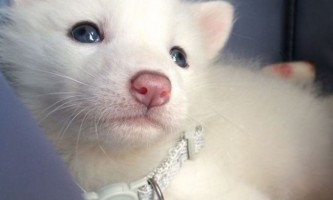 Біла лисичка райлай - зірка instagram