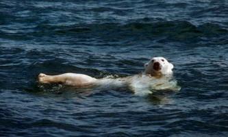 Біла ведмедиця пропливла по морю 687 км