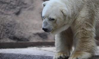Біла ведмедиця з`їла вибуховий пакет і померла. Зоозахисники вимагають відплати