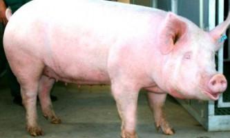 Біла порода свиней