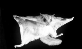 Білка-летяга напала на фотографа, який намагався зробити її знімок
