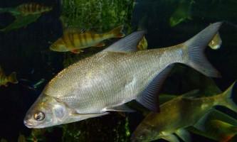 Белоглазка, або сопа: фото риби