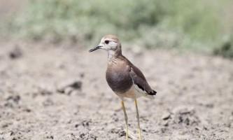 Білохвості плюгавки - вимираючі птиці