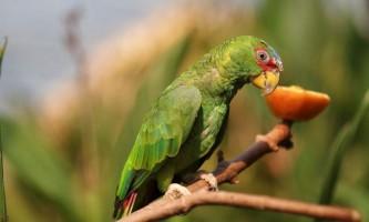 Білолобий амазон - папуга з центральної америки