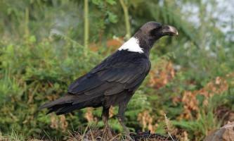 Белощекий ворон - птах з примітною зовнішністю