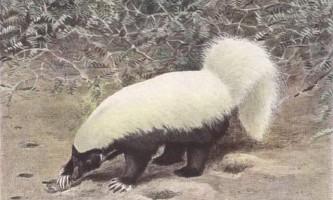 Білоспинний скунс - красивий, але смердючий звір