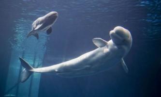 Білуха (полярний дельфін)