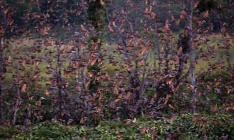 Сезонна міграція кажанів в замбії