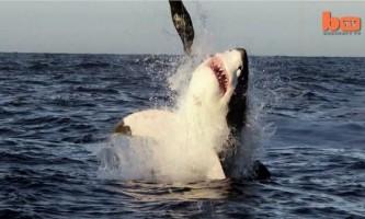 Біля узбережжя пар помітили літаючу білу акулу