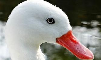 Білі і чорні лебеді