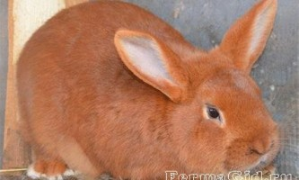 Білі і червоні кролики новозеландської породи: годування, утримання, розведення