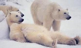 Білі ведмеді переключилися з нерпа на гусей