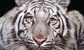 Білі тигри: загадка природи