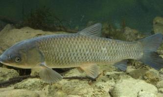 Білий амур - великий представник коропових риб
